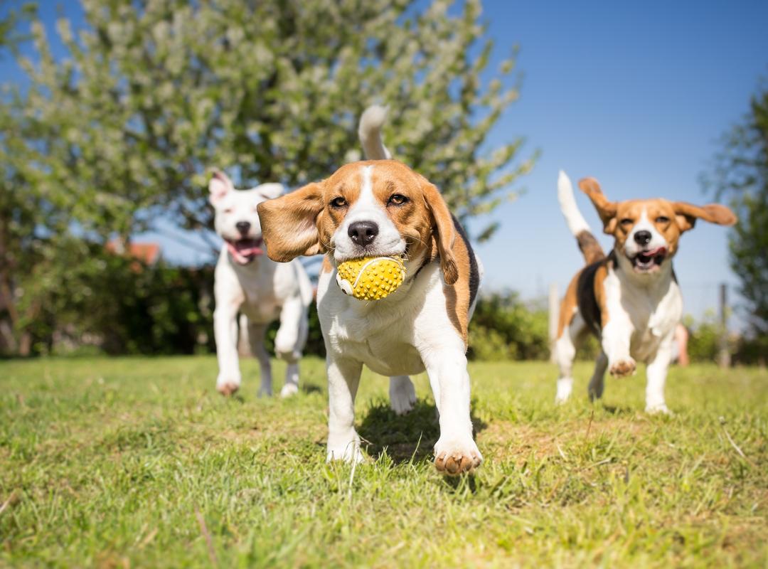 spelende Beagles